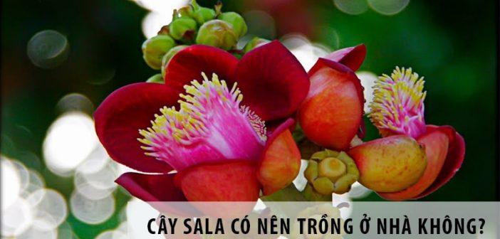 Cây sala có nên trồng ở nhà không?