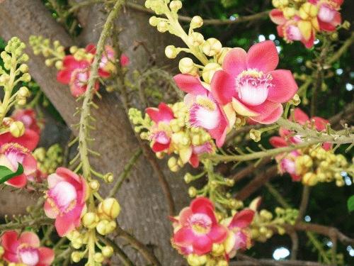 Cây sala là loại cây thân gỗ