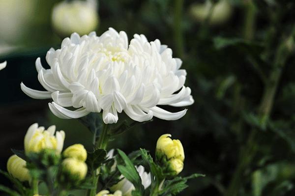 Không nên tặng hoa cúc trắng trong ngày khai trương